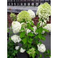 "Hortensia ""hydrangea paniculata limelight"""