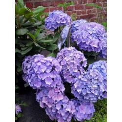 Hortensias - plantes dextérieures